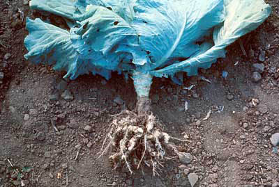 Заболевания капусты и методы борьбы с ними