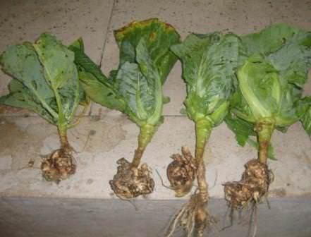 Как правильно бороться с килой капусты, чтобы сохранить урожай?