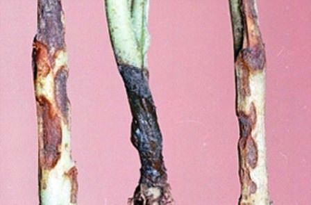 Черная ножка — классическое заболевание капусты на огороде и в теплице