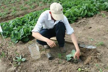 Как правильно бороться с ложномучнистой росой капусты?