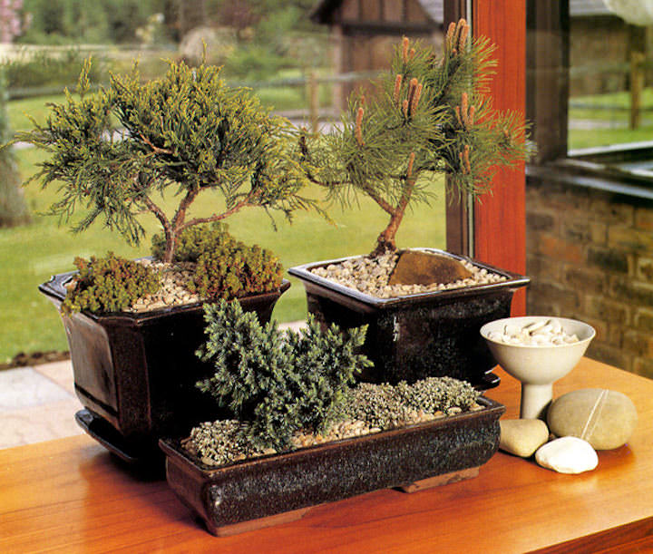 Выращивание дерева бонсай: клен, сакура из семян в домашних условиях, технология выращивания и ухода