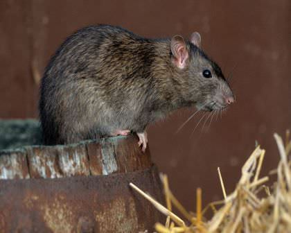 как защитить дачу от мышей