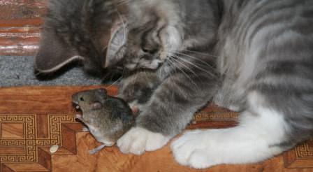Не забывайте и о классическом методе борьбы с мышами и крысами — кошках