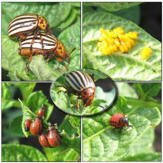 Уничтожению подлежит не только взрослый колорадский жук, но также его яйца и личинки