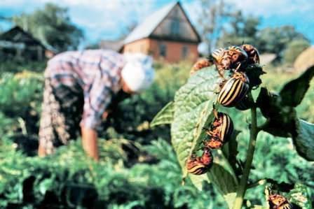 Ручной сбор колорадского жука и личинок, уничтожение его за пределами дачного участка