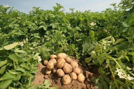 Посадка календулы на картофельном поле повышает шансы эффективной борьбы с вредителями