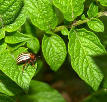 Как правильно травить колорадского жука, чтобы раз и навсегда выгнать его с огорода?