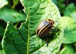 Лучшие способы борьбы с колорадским жуком на дачном огороде