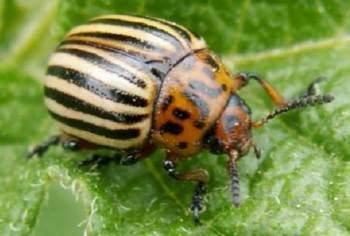 Игнорирование колорадского жука на участке чревато серьезными потерями