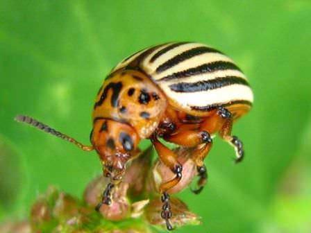 Многие народные средства от колорадского жука позволяют быстро справиться с проблемой