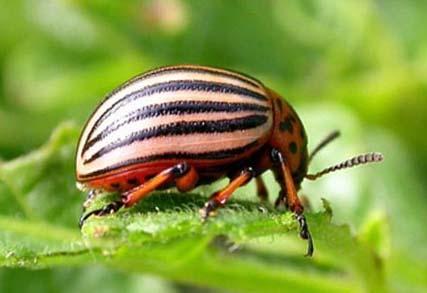 Ручной сбор и уничтожение колорадского жука и личинок — самый безопасный метод