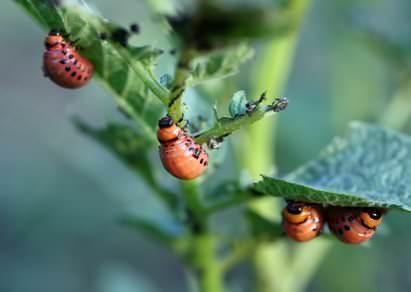 Как уничтожить колорадского жука и его личинок хозяйственным мылом и золой?