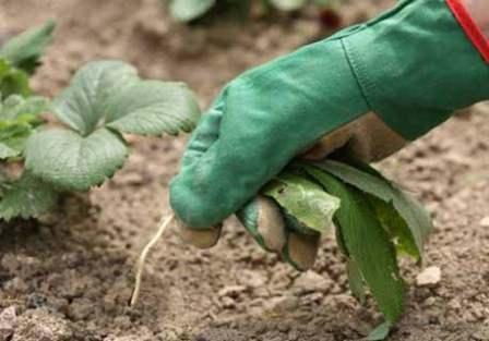 Лучшим способом уборки сорняков остается физический, с помощью перекопки почвы и уборки корней и ботвы, семенных коробочек