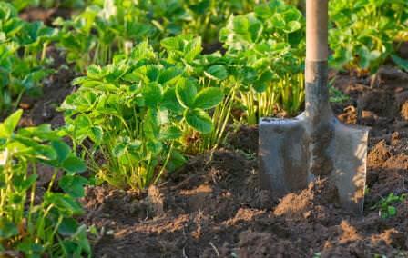 Высаживайте растения сильной рассадой, а не семенами, всходы которых могут быть забиты сорняками