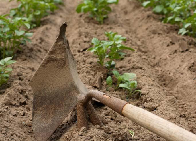 Рыхление грунта – очень важное мероприятие по уходу за посадками картофеля «Гала»