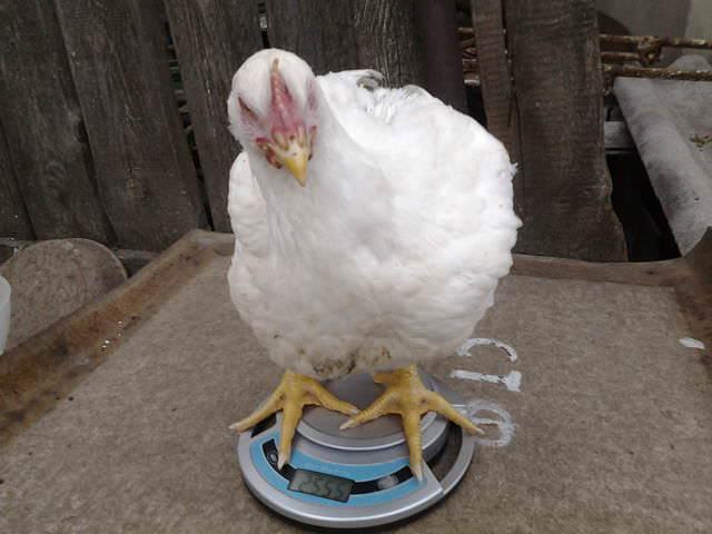 Цыплята бройлеров быстро растут и набирают массу тела