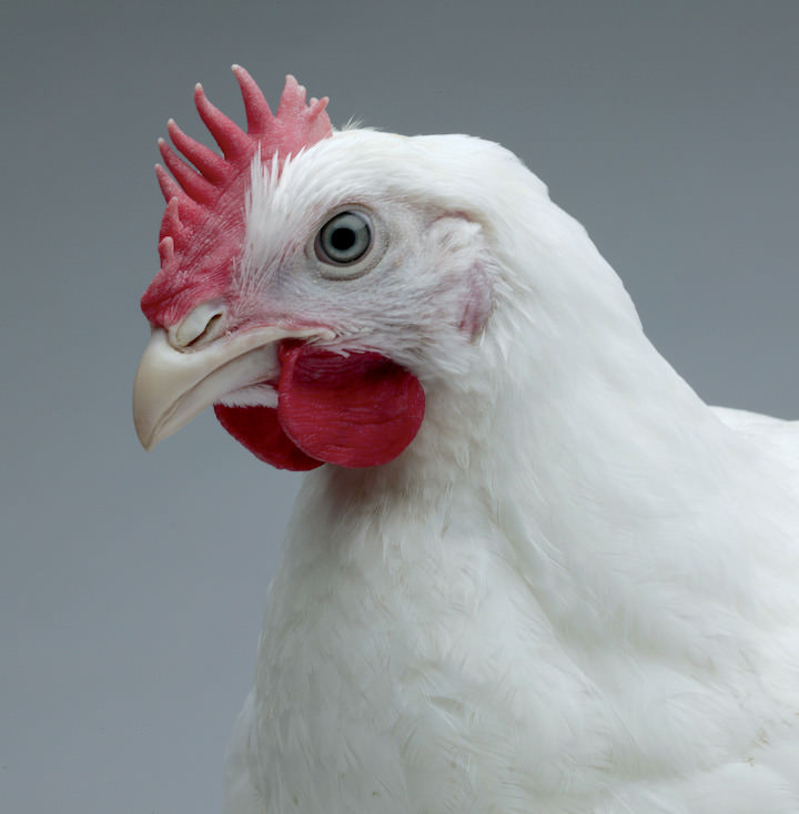 Особо ценятся птицы Кроссы