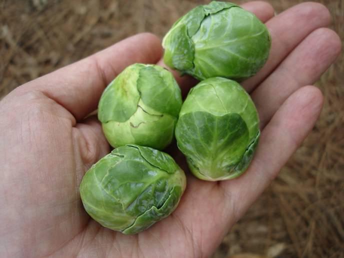 Уборка созревшего урожая брюссельской капусты производится в выборочном режиме и начинается с середины сентября