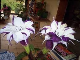 Бругмансия – очень красивое растение, требующее дополнительного за собой ухода