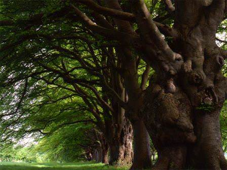 Прекрасное дерево — бук