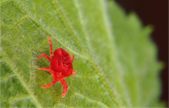 Красный яблонный клещ может несколько лет подряд атаковать зелень яблонь, высасывая из нее сок