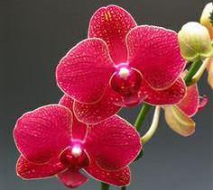 Красная орхидея не может не поразить великолепием и яркостью