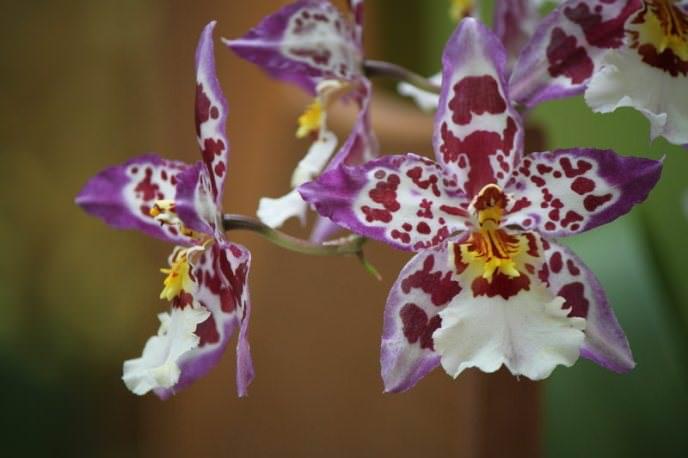 На языке цветов комнатные орхидеи обозначают любовь, нежность и утончённость