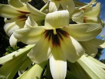 Возле гигантской лилии лучше посадить тенелюбивые растения