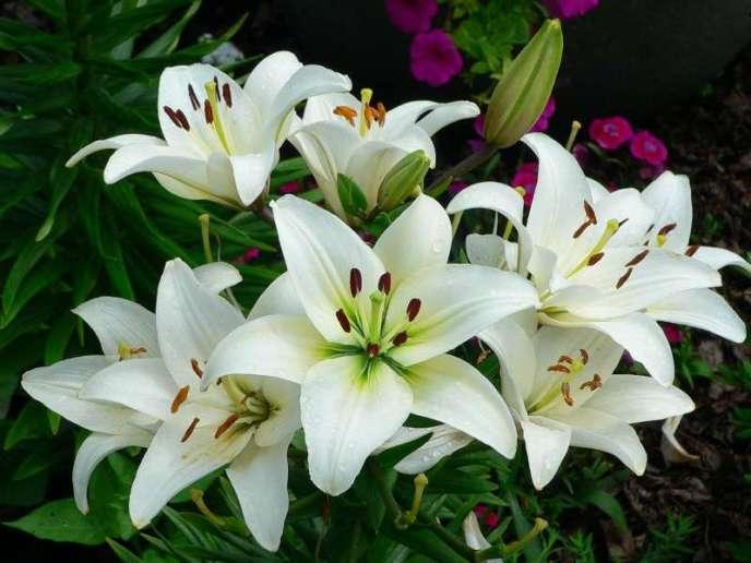 Чтобы получить обильно цветущие лилии, следует учитывать некоторые особенности посадки этих луковичных