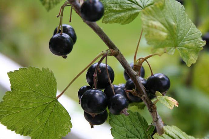 Изучив агротехнику, попробовав ягоды всех сортов на вкус и определив, какая именно смородина вам подходит наиболее, вы и сможете выбрать лучший сорт черной смородины