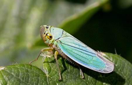 Существует множество разновидностей цикадки