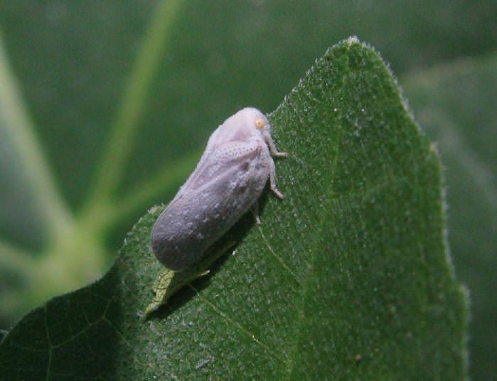 Белая цикадка появилась в южных регионах нашей страны сравнительно недавно
