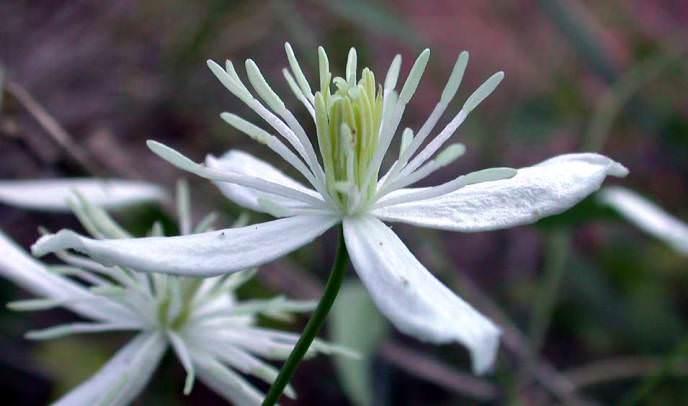 Клематис жгучий – один из самых распространенных и популярных в отечественном садоводстве видов клематиса
