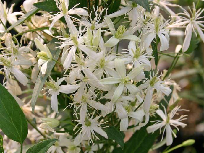 Этот мелкоцветковый клематис усеян похожими на звездочки цветами, собранными в легкое облачко