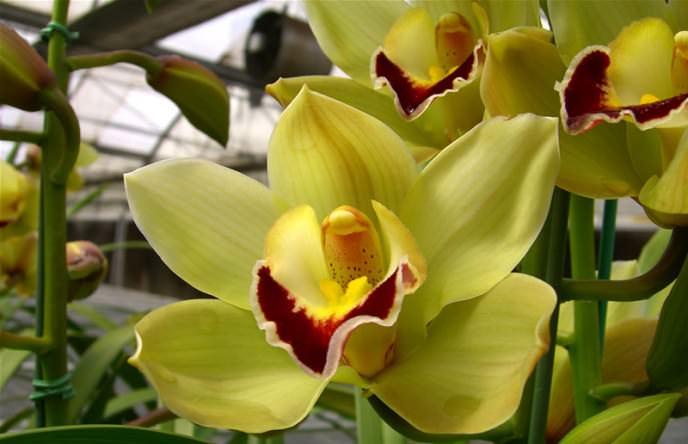 «Цимбидиумы» неприхотливы в уходе, но практически не цветут в домашних условиях
