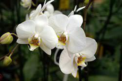 Белая орхидея является символом умиротворения