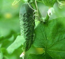 Огурец «Зятек f1» предназначен для выращивания в открытом грунте и пленочных теплицах