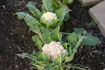 В открытый грунт можно сеять цветную капусту периодически через две — четыре недели. Последний сев можно делать в конце июня — начале июля