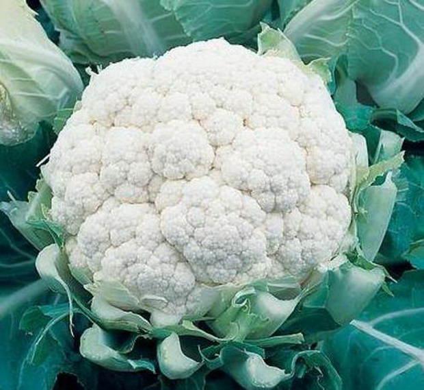При благоприятных условиях урожай цветной капусты в теплице можно получить через 60 — 90 дней в зависимости от ухода и сорта (ранние, средние и поздние)