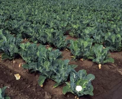 При плохом росте подкормите и микроэлементами. Особенно капусте нужен бор и молибден