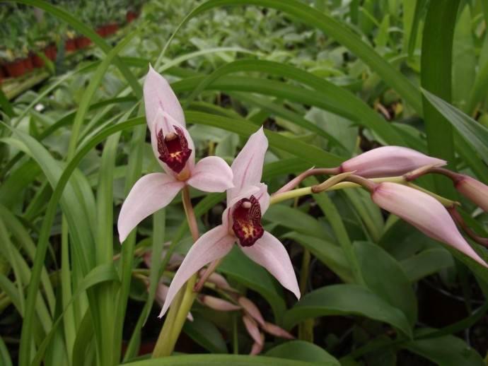 Орхидея Дэя произрастает на Суматре, Филиппинах, в Юго-Восточной Азии