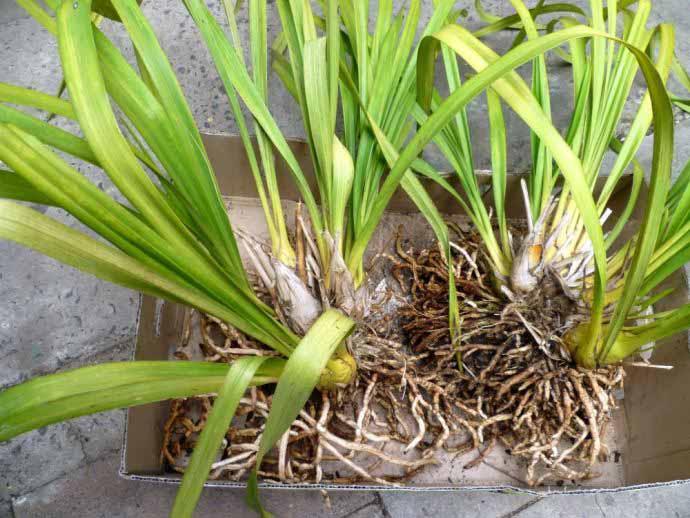 Чаще всего деление корней выполняется на растениях, обладающих крупными размерами