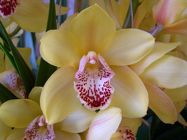 Орхидея: разновидности и символическое значение