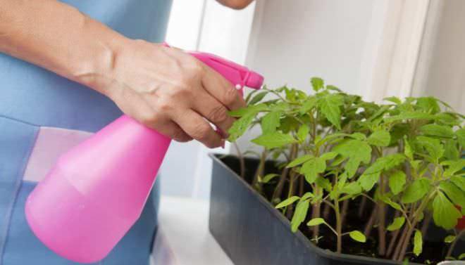 Необходимо обработать рассаду от вредителей методом опрыскивания