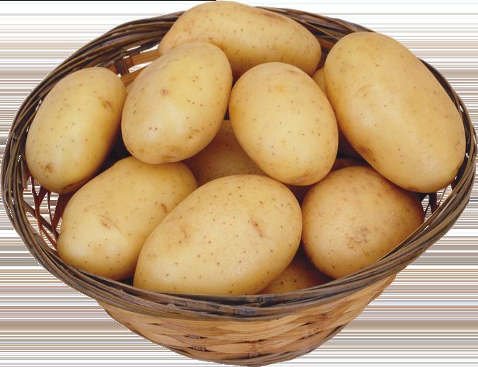 Картофель «Латона ценится стабильной и высокой урожайностью