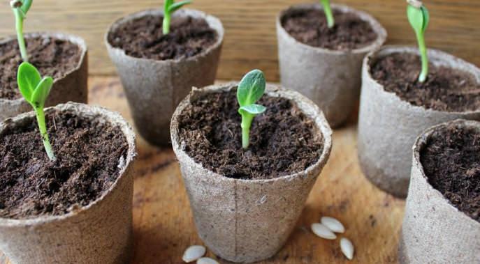 Выращивание рассады огурца «Амур-f1» предусматривает проведение постоянного контроля за влажностью почвы