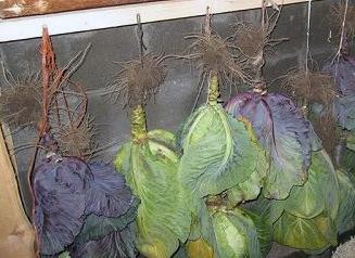 Ответ на Как хранить капусту в глине