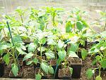 Как вырастить плоды баклажана