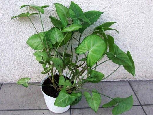 Сингониум является многолетним, быстрорастущим и вечнозелёным растением