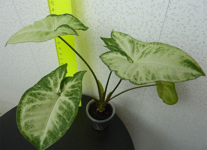 Сингониум представляет собой уникальный вид лианы, стебли которого не ветвятся и отличаются гибкостью